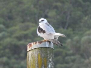Invitation to Guided Bird Walks and Bird Counts at NEV, October 24 and 25 2020 @ Narara Ecovillage